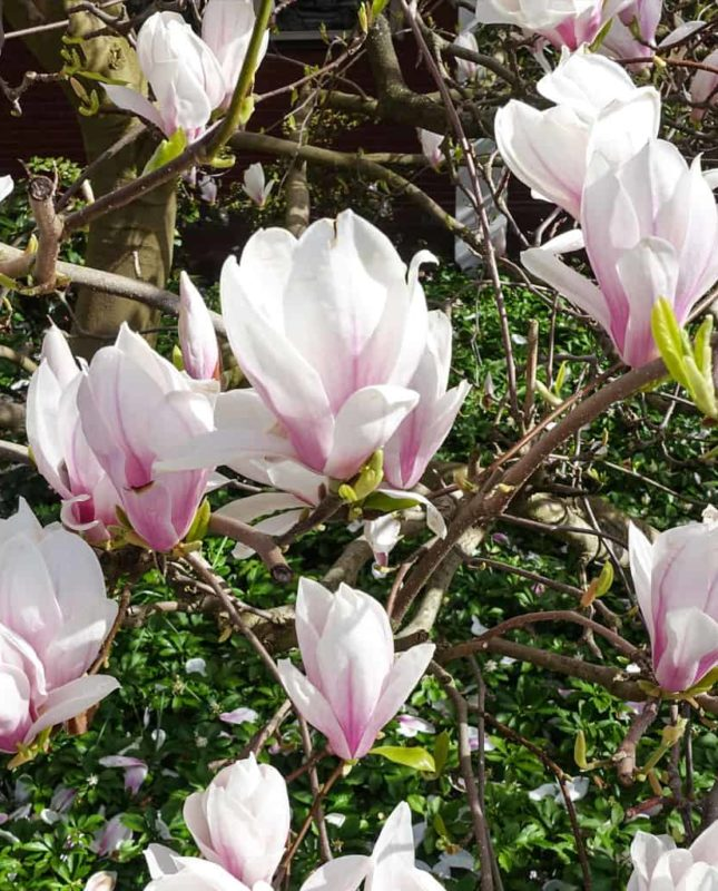 Saucer Magnolia is a great tree to accent your southern parties